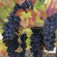 harvest grapes my israel wine tours
